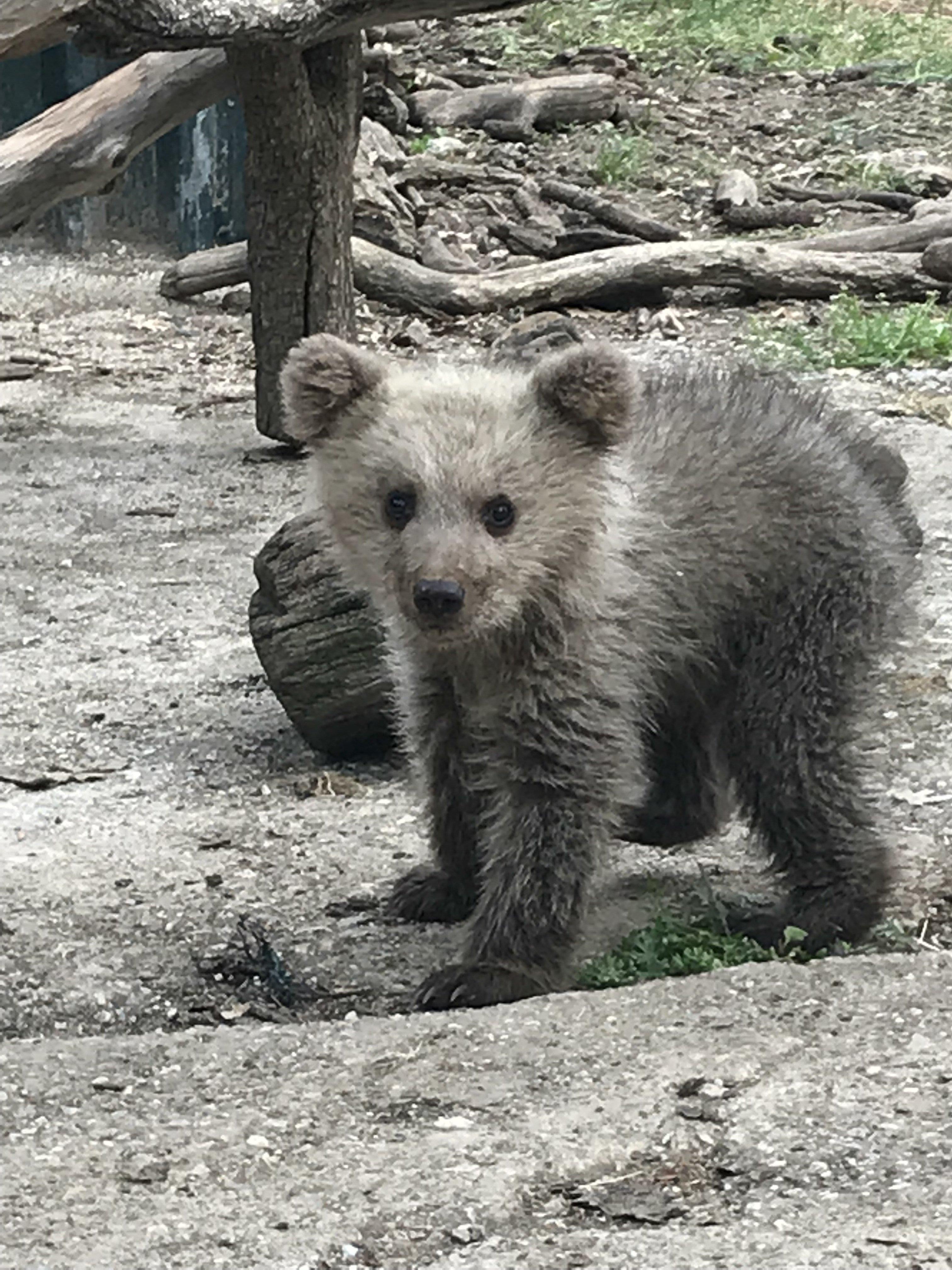 Και δεύτερο ορφανό αρκουδάκι θα φροντίσει ο Αρκτούρος μέχρι την επανένταξή του στη