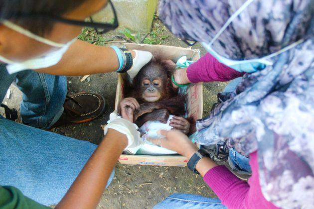 불법 애완동물 거래처에서 구조된 아기 오랑우탄