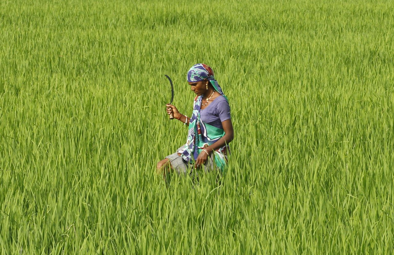 A farmworker in a rice paddy field in Ahmedabed, India. An unconventional method for growing rice has been found to increase yields by 20 to 50 percent.