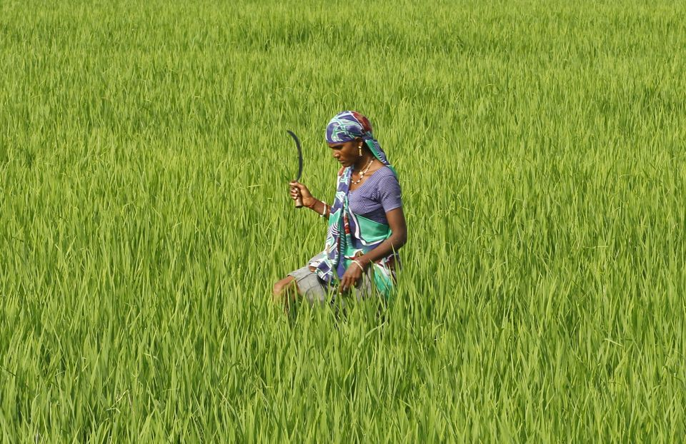 A farmworker in a rice paddy field in Ahmedabed, India. An unconventional method for growing rice has...