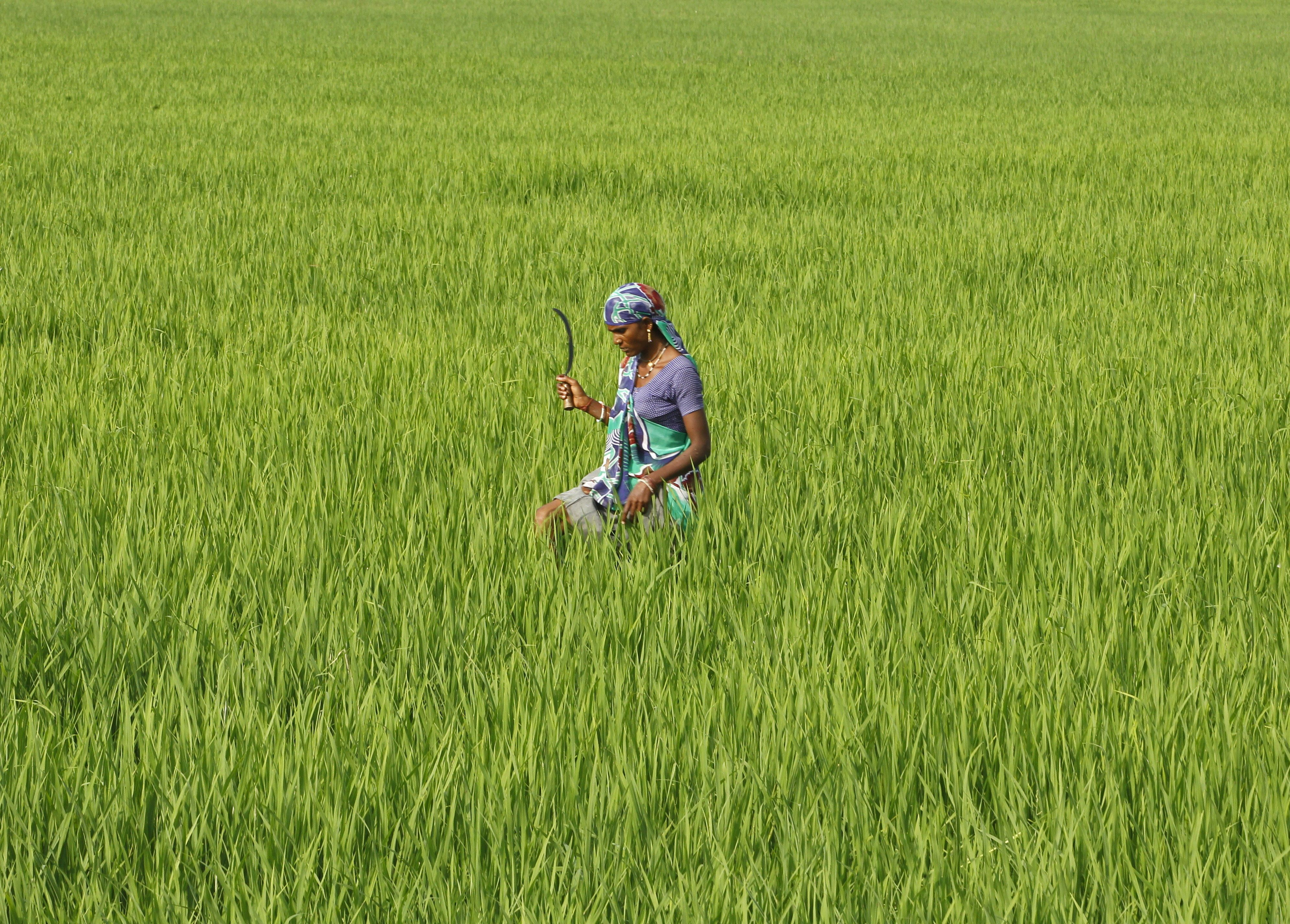 A farmworker in a rice paddy field in Ahmedabed, India. An unconventional method for growing rice has been found to increase
