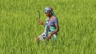 A farm worker looks for dried plants to remove in a paddy field on the outskirts of Ahmedabad, India, September 8, 2015. India has just suffered back-to-back drought years for only the fourth time in over a century, summer crops are wilting and reservoir water levels are at their lowest in at least a decade for the time of year. Yet Prime Minister Narendra Modi's government has not held a high-level meeting to discuss drought relief for farmers since June, when its weather office forecast - correctly as it turned out - that this year's monsoon rains would fall short. Fifteen months since winning power, in part on his record in boosting agriculture as chief minister of Gujarat, Modi faces growing criticism for failing to shield Indian farmers from deepening hardship. To match INDIA-DROUGHT/      Picture taken September 8, 2015.   REUTERS/Amit Dave