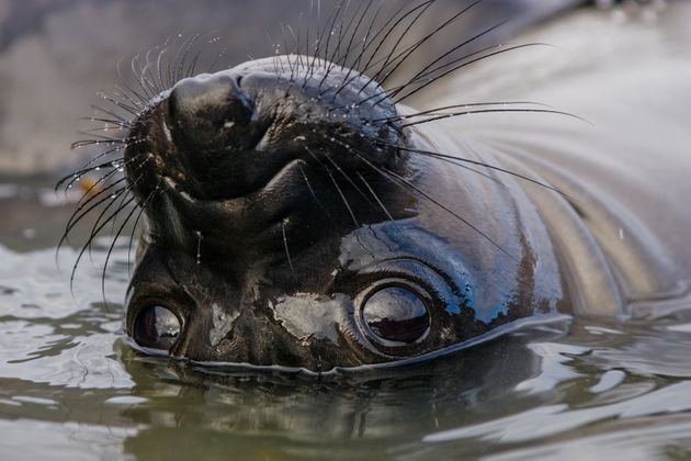 A northern elephant seal playing in a tide pool near Piedras Blancas in Big Sur,
