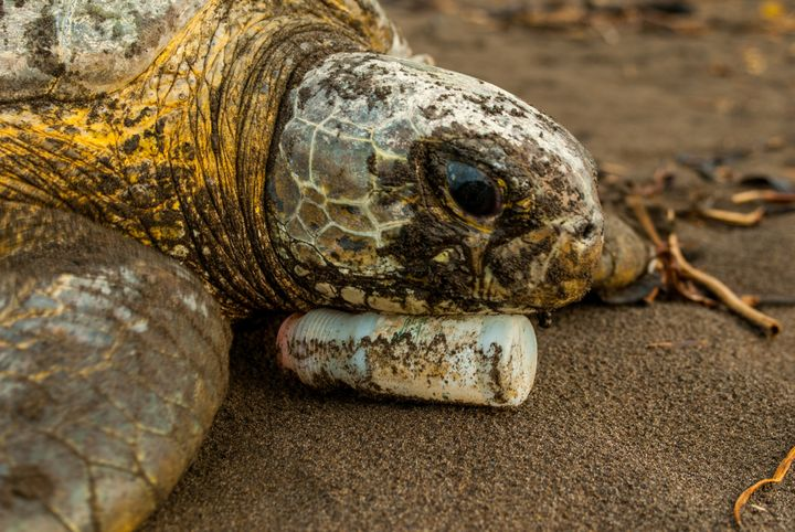 While returning to the sea after nesting, agreen sea turtle rests on a plastic bottle in Tortuguero National Park, Costa Rica.