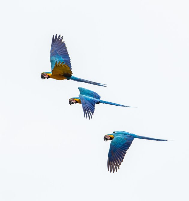 The blue-and-yellow macaw, also known as the blue-and-gold macaw, flying above the Tiputini River in