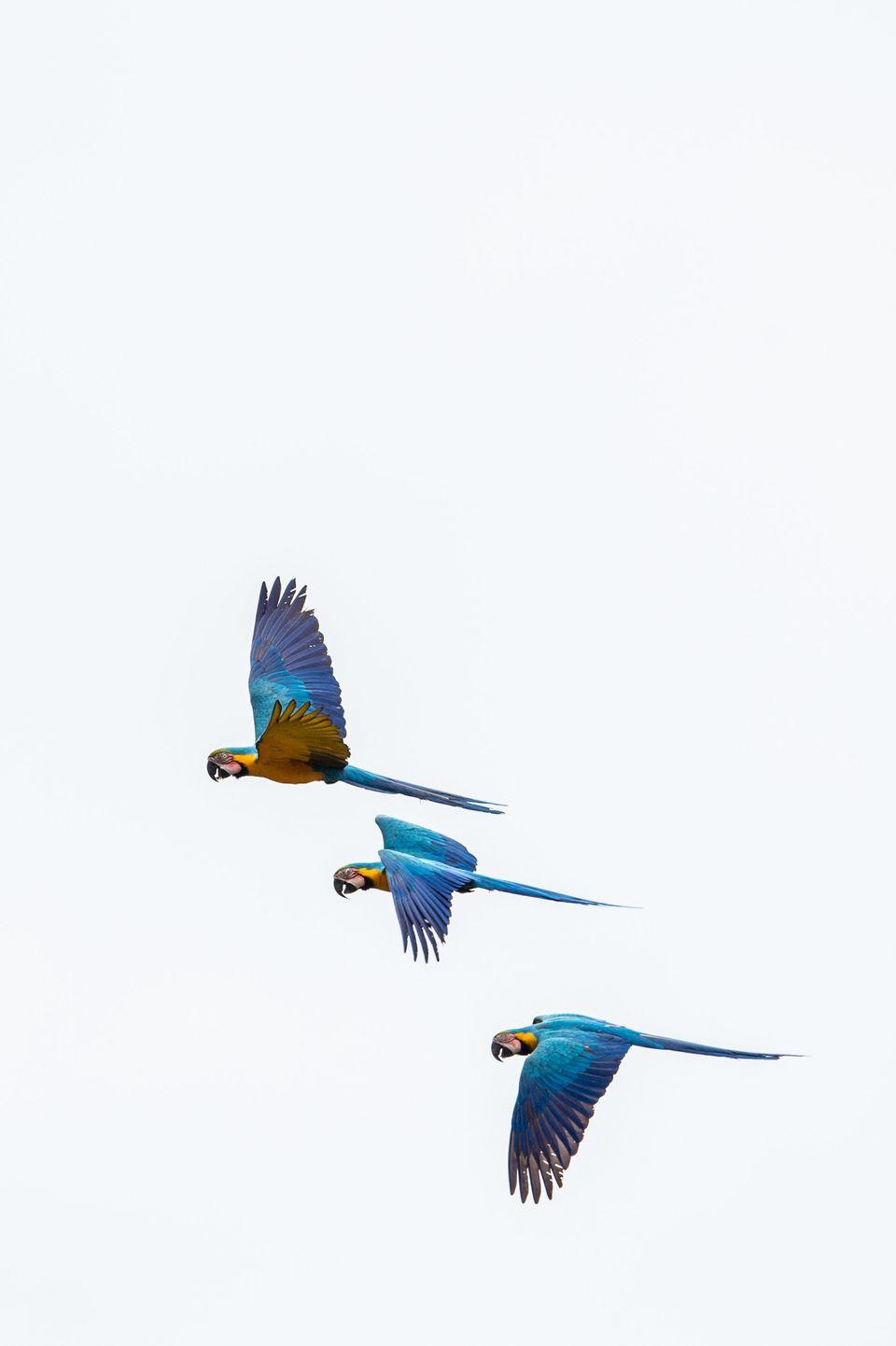 Guacamayos sobrevolando el río Tiputini, en