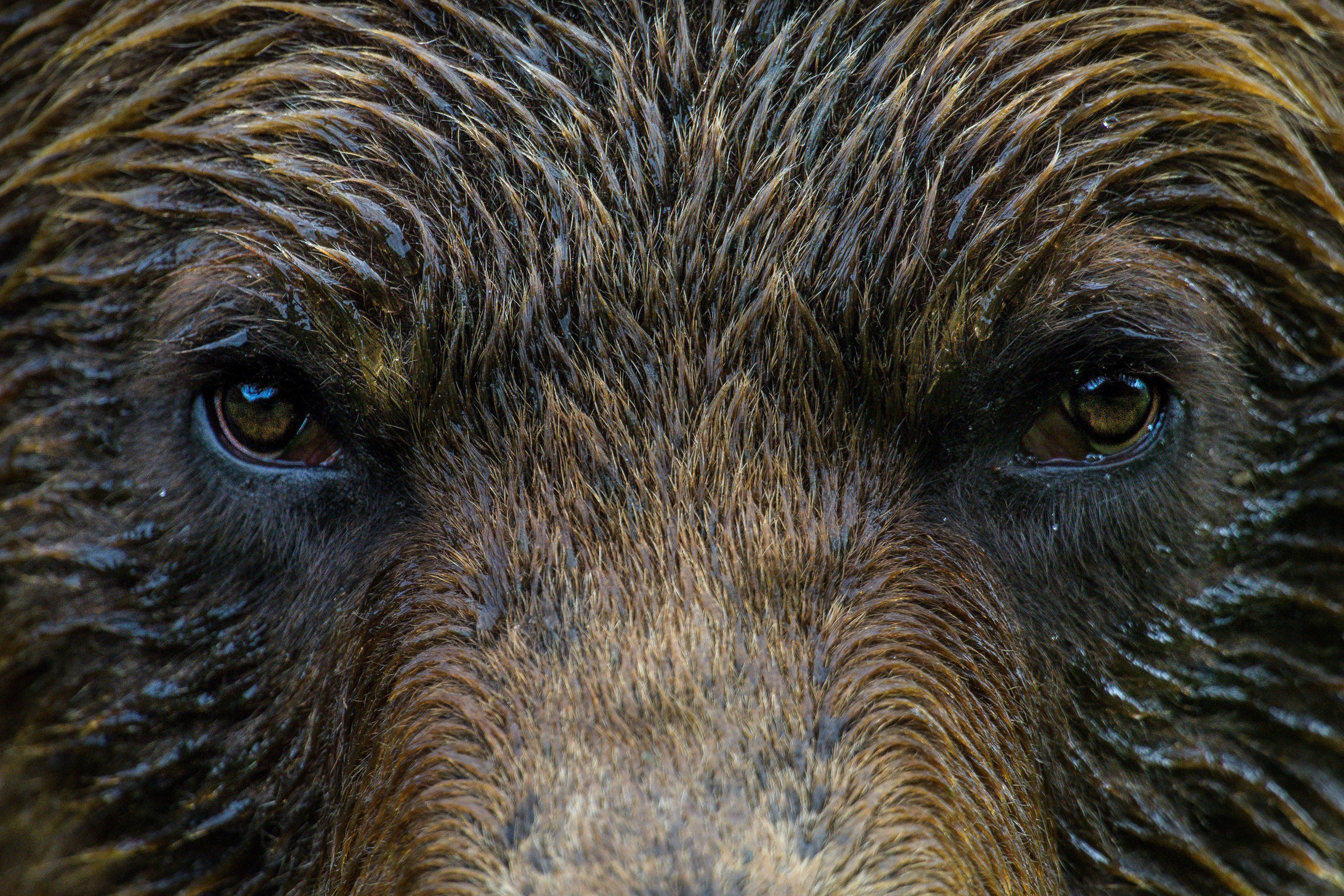 A grizzly bear in Canada's first and only grizzly bear sanctuary, the Khutzeymateen Provincial...