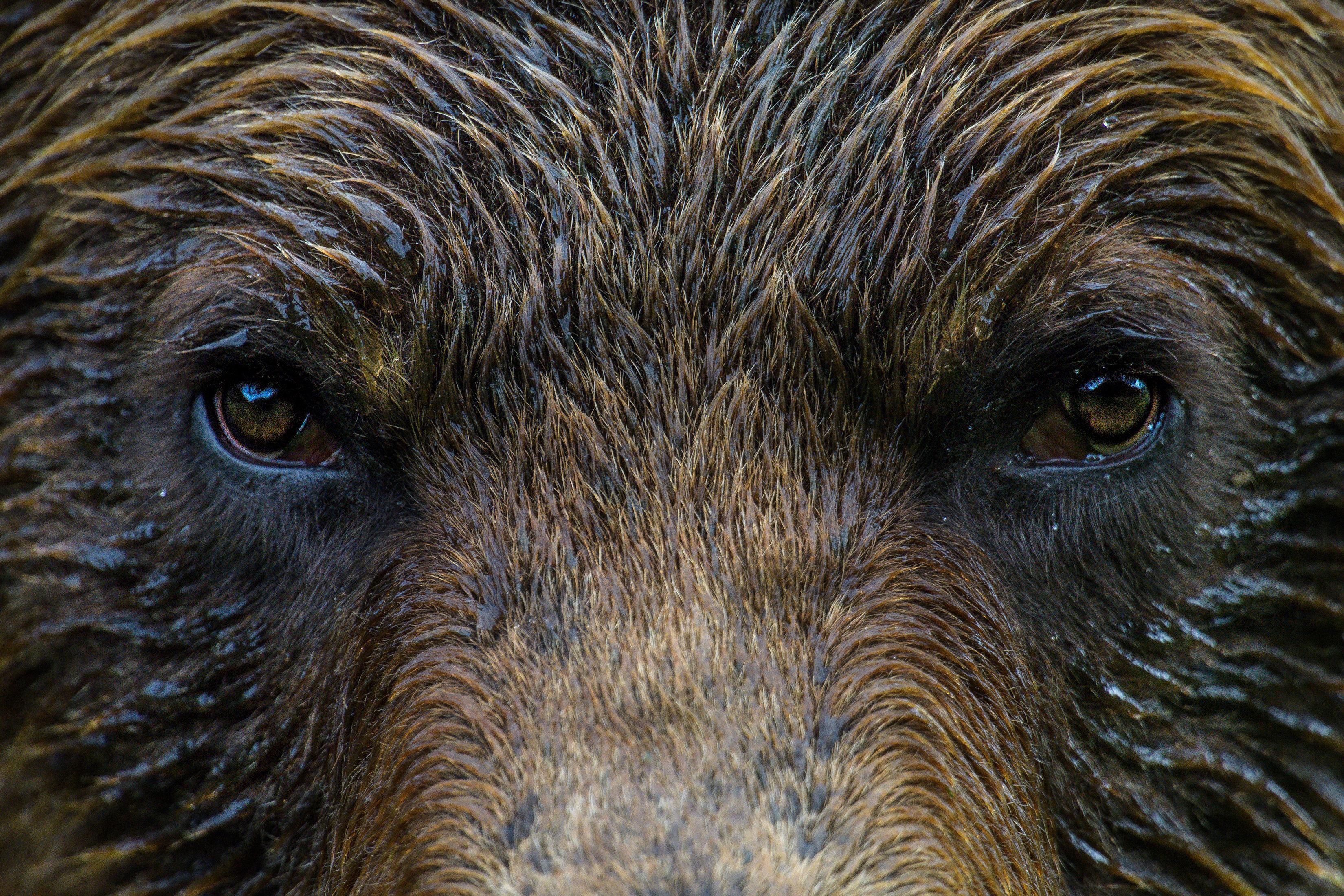 Oso pardo en la única reserva dedicada a estos animales en Canadá, el Parque Provincial