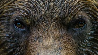 Bear eyes