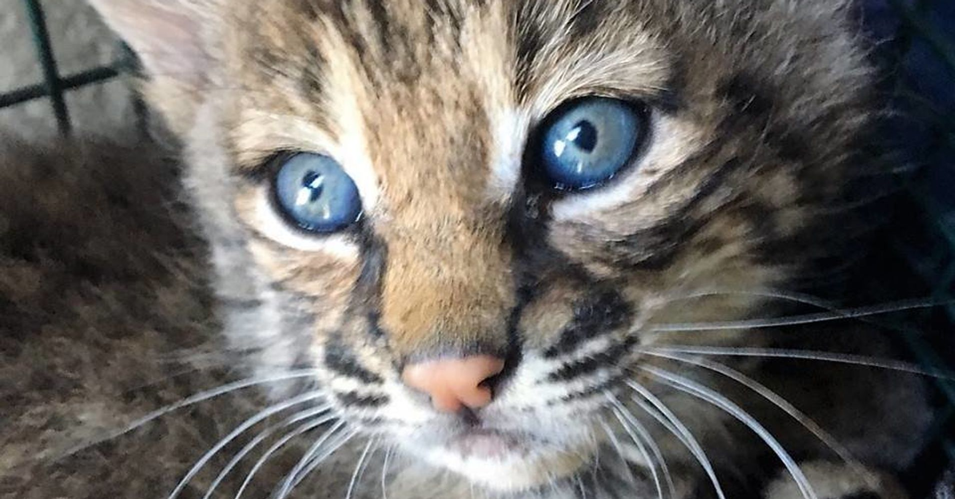 Bobcats Die After 'Rescue' By Woman Who Says She Thought They Were Domestic Kittens