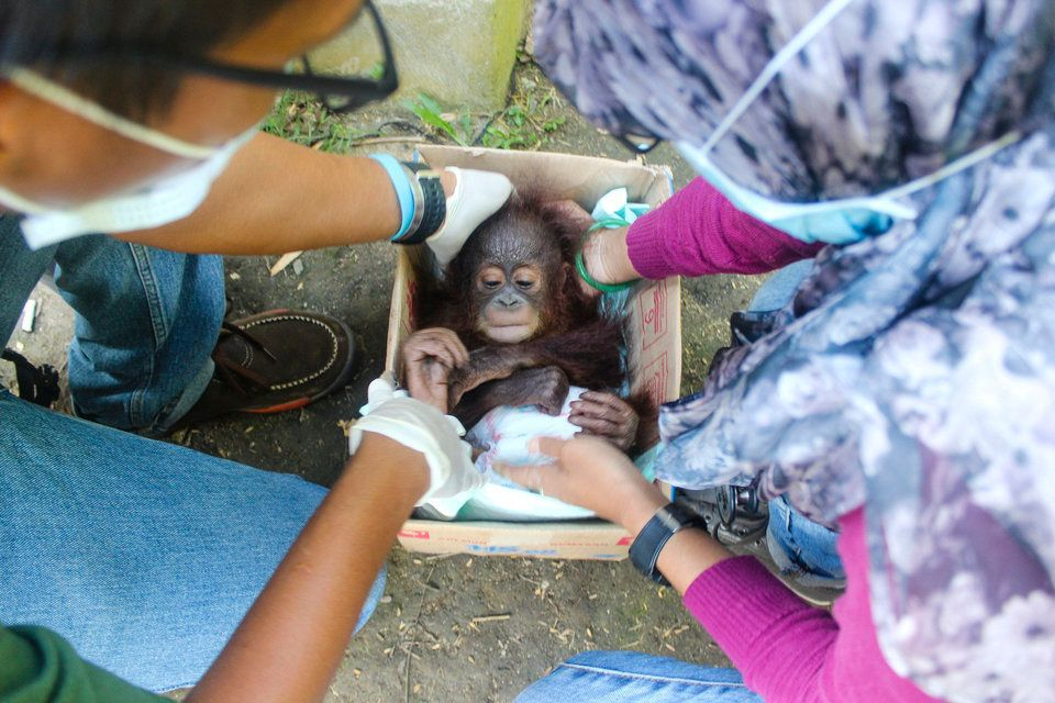 Baby orangutan Udin is rescued from the illegal wildlife pet
