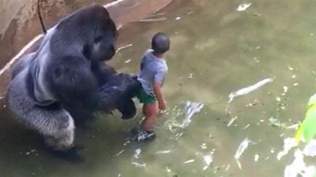 2016년 5월28일 미국 신시내티동물원에서 한 어린이가 울타리 밑 해자로 떨어지자, 고릴라 하람베는 10분 뒤에
