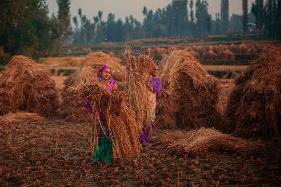 Kashmiri farmers tie lumps of grass to make hay bales in a paddy field during harvesting season.