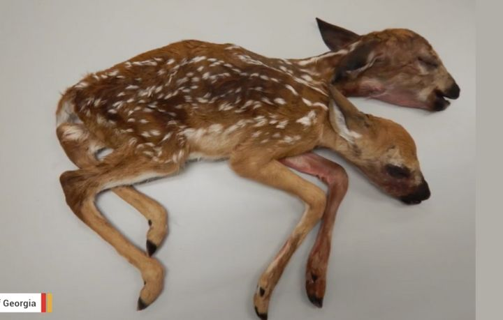Stillborn conjoined fawns found recently in Minnesota.