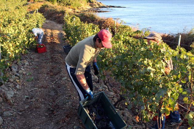 Des vendangeurs dans des vignes corses à Santa Severa, près de Luri, dans le Cap Corse,...