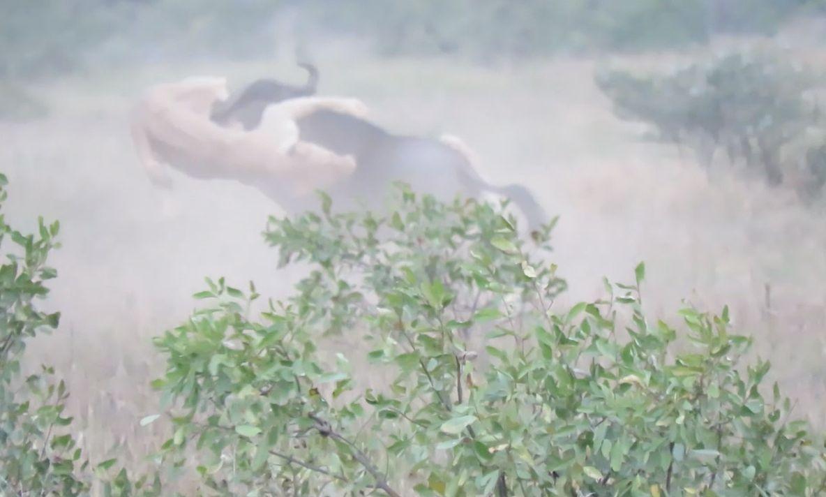Sensationelle Aufnahmen: Löwen laufen im Revier umher – und entdecken schwaches