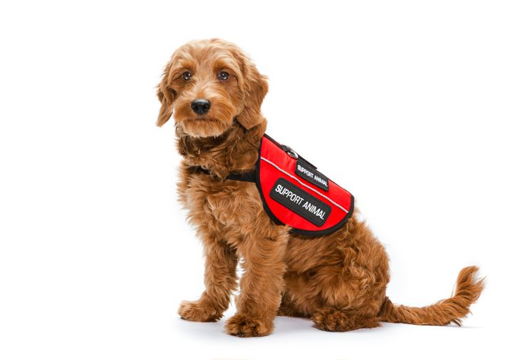 Flying on American Airlines with a service animal will now require advance notice, as well as contact information for th