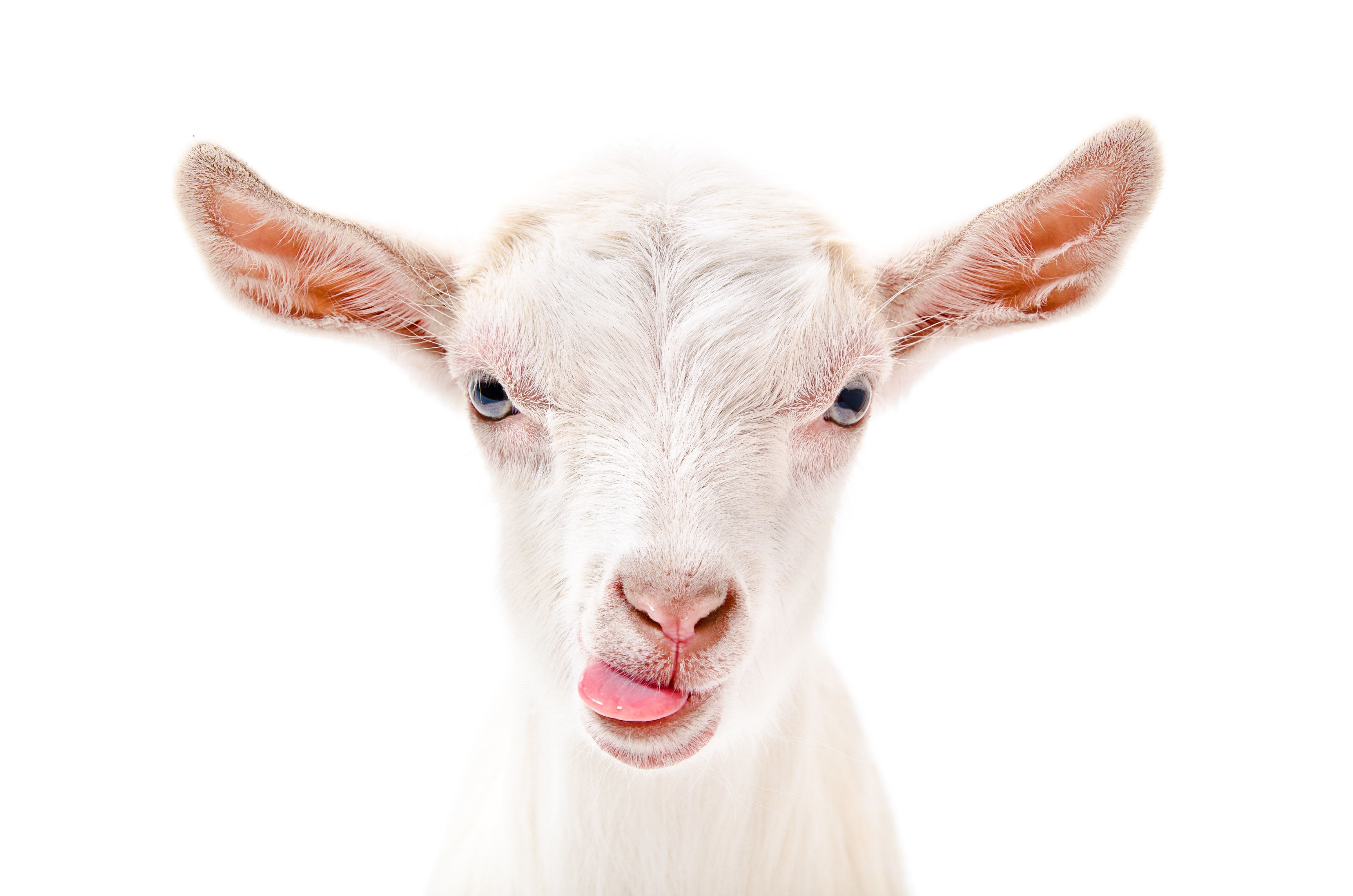 Portrait of a goat showing tongue Isolated on white background