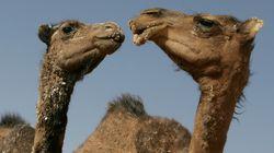 """Les abattoirs du Sud alertés sur la """"maladie du chameau"""