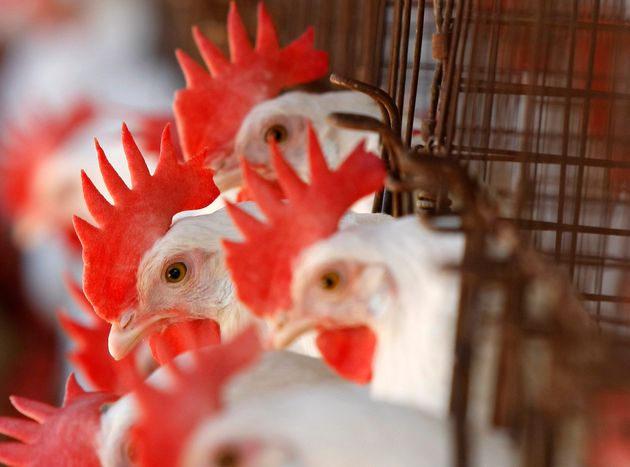 Hens in battery cages at a San Diego County egg farm in