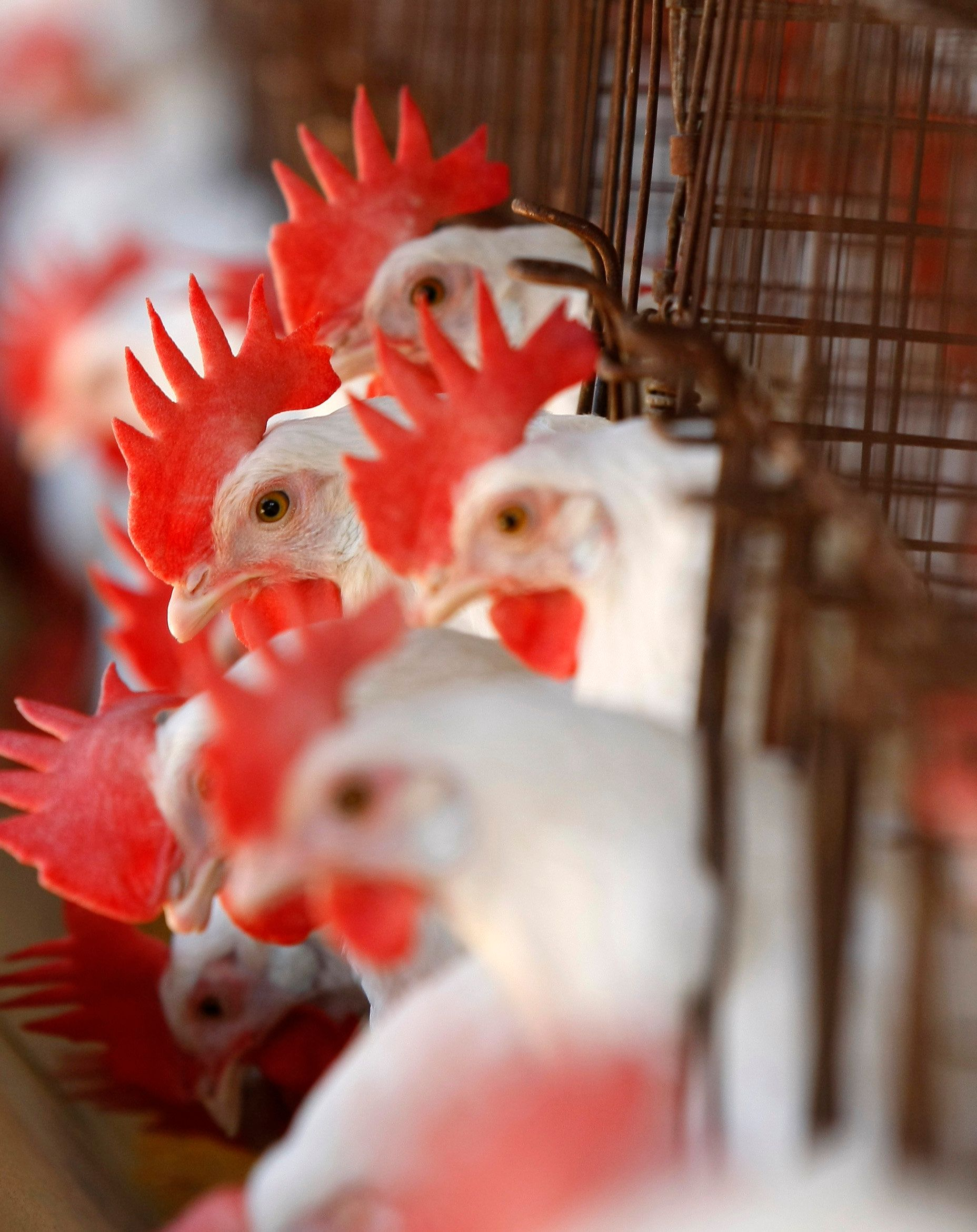 Caged hens feed at an egg farm in San Diego County in this picture taken July 29, 2008. A fierce battle looming in California between animal rights campaigners and egg producers over the welfare of caged hens could crack the state's $300 million egg production industry. Picture taken July 29.      REUTERS/Mike Blake      (UNITED STATES)