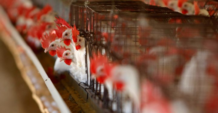 The Protect Interstate Commerce Act would ban states like California from prohibiting the sale of eggs from battery-caged hen