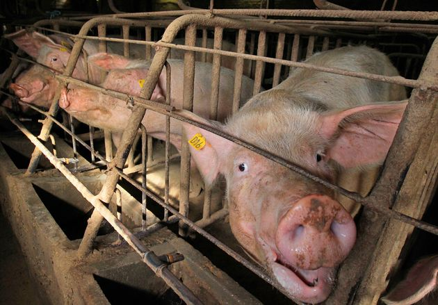 Pregnant pigs in gestation crates, also known as sow stalls, at a farm near Brussels, Belgium, in