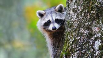 Portrait of Raccoon sitting on a tree and looking at camera
