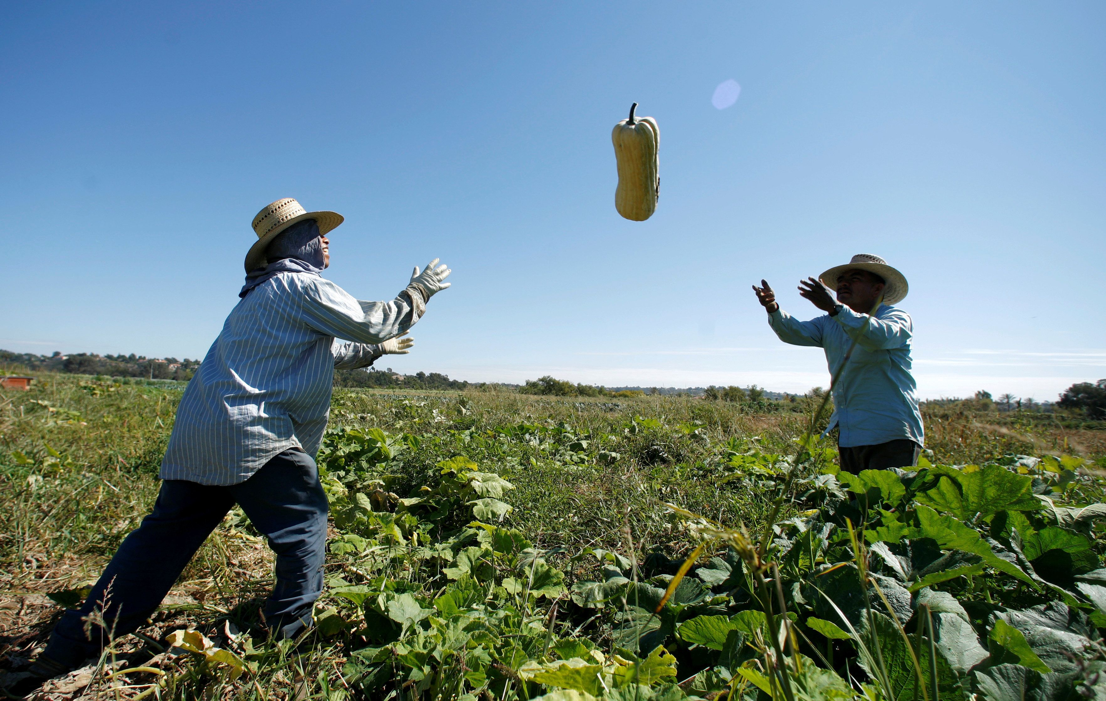 FILE PHOTO - Farm workers harvest squash from the Chino Farm in Rancho Santa Fe, California, U.S. on October 3, 2007.      REUTERS/Mike Blake/File Photo