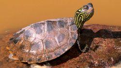 한 과학자가 3D로 인쇄한 '섹스돌'로 거북이의 짝짓기 비밀을