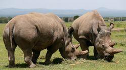 O λευκός ρινόκερος μπορεί να σωθεί: Έγινε τεχνητή γονιμοποίηση σε λευκή ρινοκερίνα του