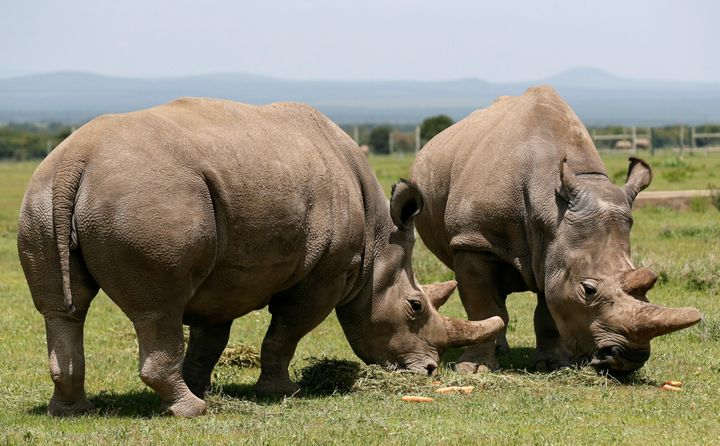 HNajin και η κόρη της Fatou, είναι οι δύο τελευταίες λευκές ρινοκερίνες της Κένυας.