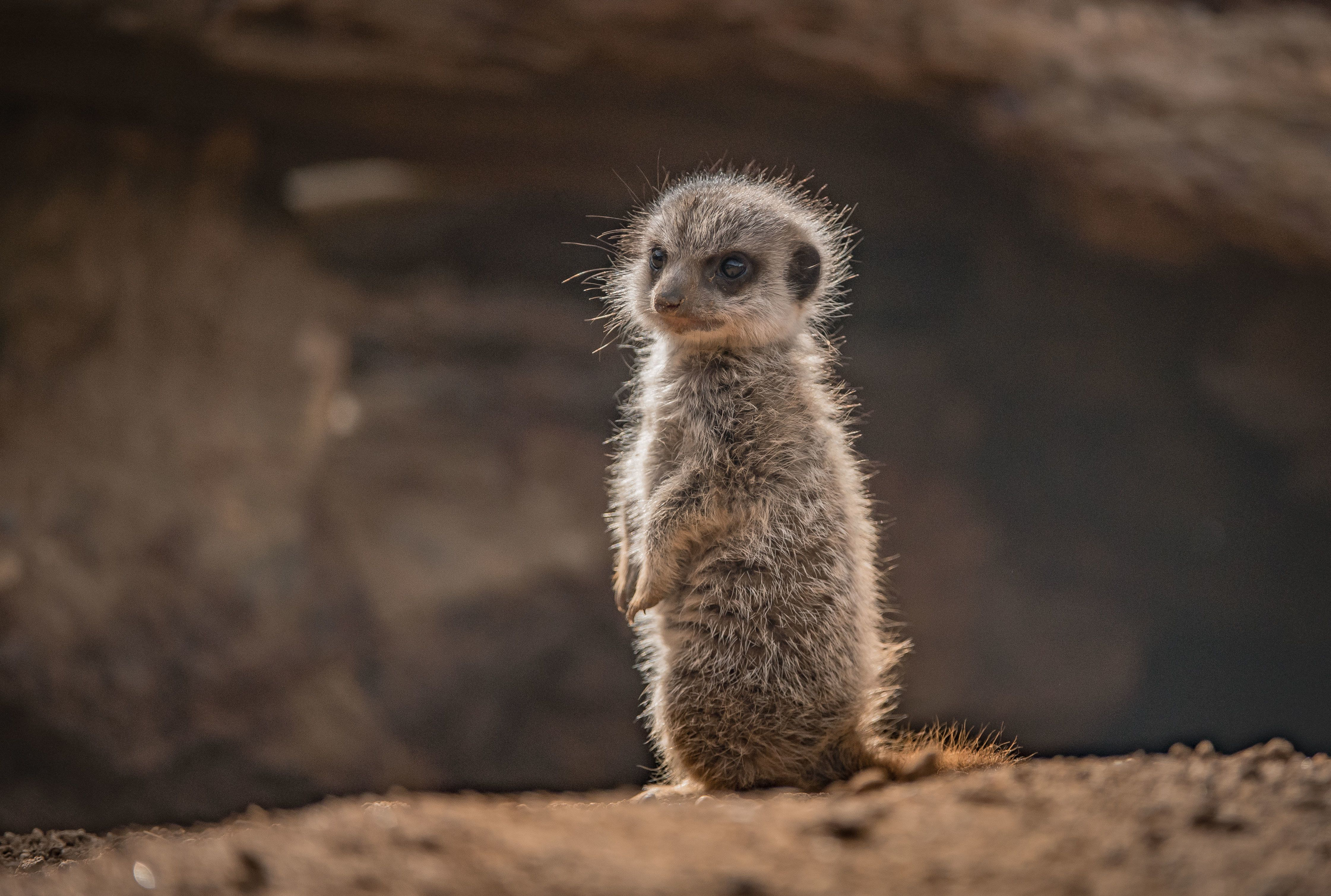 5 Cute Animals To End The Week: Baby Meerkats And L'Oréal The Frenchie
