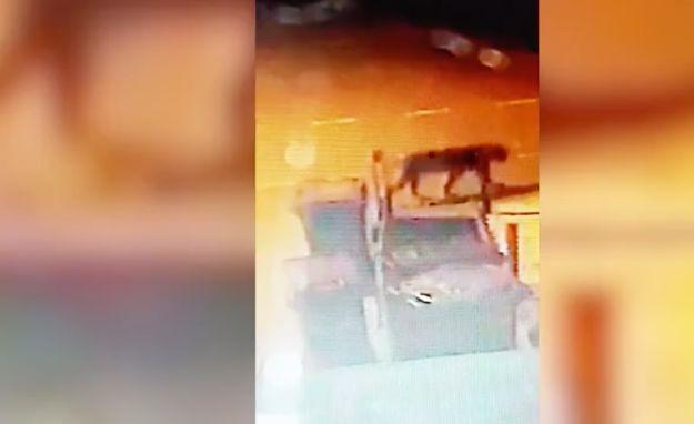 Was ist DAS? Frau filmt Wesen, das wie Monster-Katze aussieht und im Müll wühlt