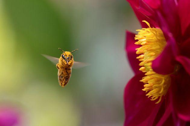 La protection des abeilles nécessaire à la sécurité alimentaire, selon la FAO et