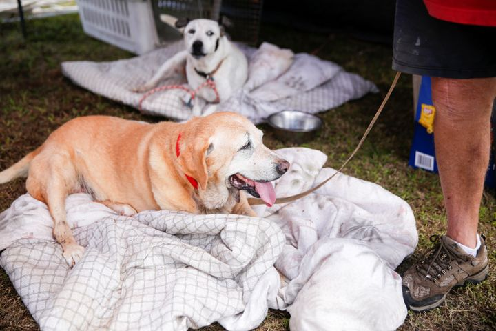 Eddie McLaren, of Kapoho, stands with two of his five dogs in his tents at a Red Cross evacuation center in Pahoa during ongo