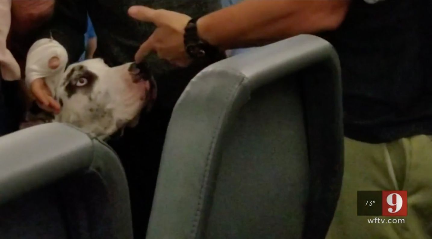 This Great Dane service dog was allegedly punched by an airline passenger who was upset about its large