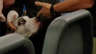 This Great Dane service dog was allegedly punched by an airline passenger who was upset about its large size