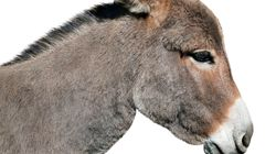 Constantine: De la viande de mulet et de vaches tuberculeuses vendue dans certaines