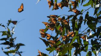 Thousands of monarch butterflies cluster on eucalyptus tree limbs at Ardenwood Historic Farm in Fremont, California, USA on 27 January 2018. (Photo by Yichuan Cao/NurPhoto via Getty Images)