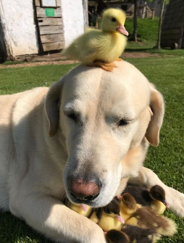 Dog 'Adopts' Nine Abandoned Baby Ducklings And It's Beyond