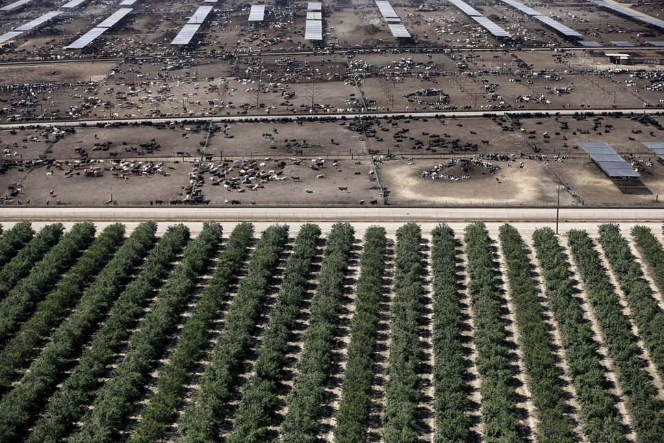 A field of almonds next to a cattle ranch in California's Central Valley.