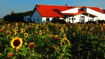 Peconic, NY, USA July 27, 2010 Sunflowers grow in front of the Pindar Winery in Peconic, New York on the North Fork of Long Island