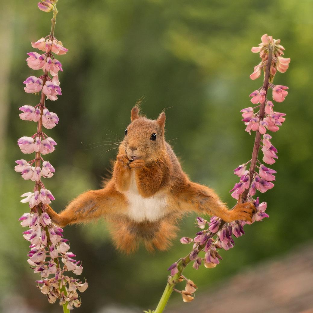 A wild red squirrel in a split between lupines in Bispgarden, Sweden.