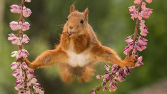 *** EXCLUSIVE ***  BISPGARDEN, SWEDEN - 2016: Pictured wild red squirrel in a split between lupines in Bispgarden, Sweden.  SPRING has sprung back into action and so have the 2018 Comedy Wildlife Photography Awards - here are the best entries so far. Two dancing polar bears by Luca Venturi have made the cut, along with an ant that's bitten off a little more than it can chew, shot by Muhammed Faishol Husni. The awards were founded by Tom Sullam and Paul Joynson-Hicks MBE, and aim to raise awareness of wildlife conservation through the power of laughter. The duo are part of a panel of judges, which also includes wildlife TV presenter Kate Humble, actor and comedian Hugh Dennis, wildlife photographer Will Burrard-Lucas, wildlife expert Will Travers OBCE, the Telegraphs online travel editor Oliver Smith and new 2018 judge the Managing Director of Affinity, Ashley Hewson. It?s not too late to enter your own hilarious photograph into the competition, and entries are free. Entrants can submit up to three images into each category and up to two video clips of no more than 60 seconds into the video clip category. The overall winner will be named the 2018 Comedy Wildlife Photographer of the Year and win a one week safari with Alex Walker's Serian - and there plenty of other fantastic prizes up for grabs for runners up. The competition is open to the public, with the deadline on 30th June 2018.  ******Editors Note - Condition of Usage: These photos must be used in conjunction with the competition Comedy Wildlife Photography Competition 2018*****   PHOTOGRAPH BY Geert Weggen / CWPA / Barcroft Images