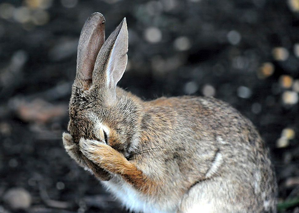 A rabbit hiding its face in West Virginia.