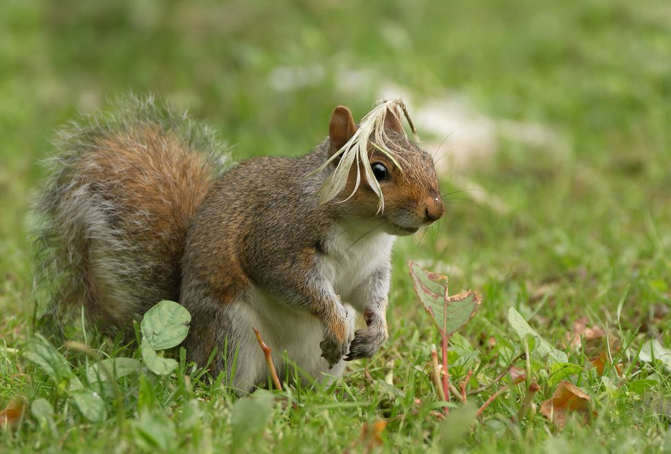 A grey squirrel with a feather on its head in Arundel, England.
