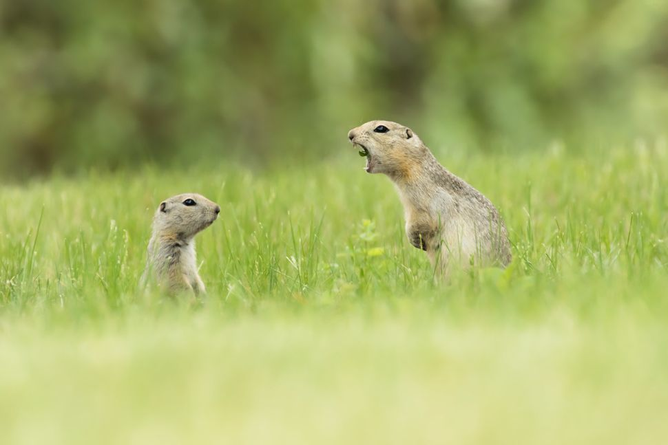 A mother ground squirrel calls directly at her young pup in Alberta, Canada.