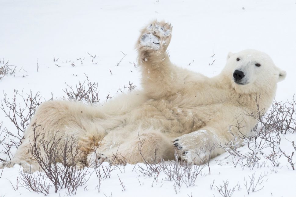 A polar bear playing in the snow in Churchill, Canada.