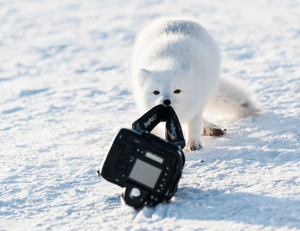 An arctic fox trying to drag the camera away from the camp in Hudson Bay, Canada.